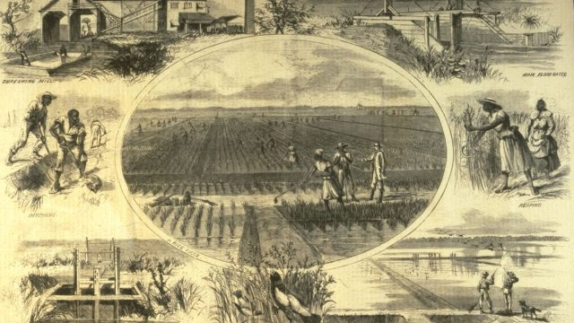 Rice Production: Autobiographies and Southern Identity